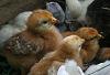 Chicks #3 © Miriam A. Kilmer